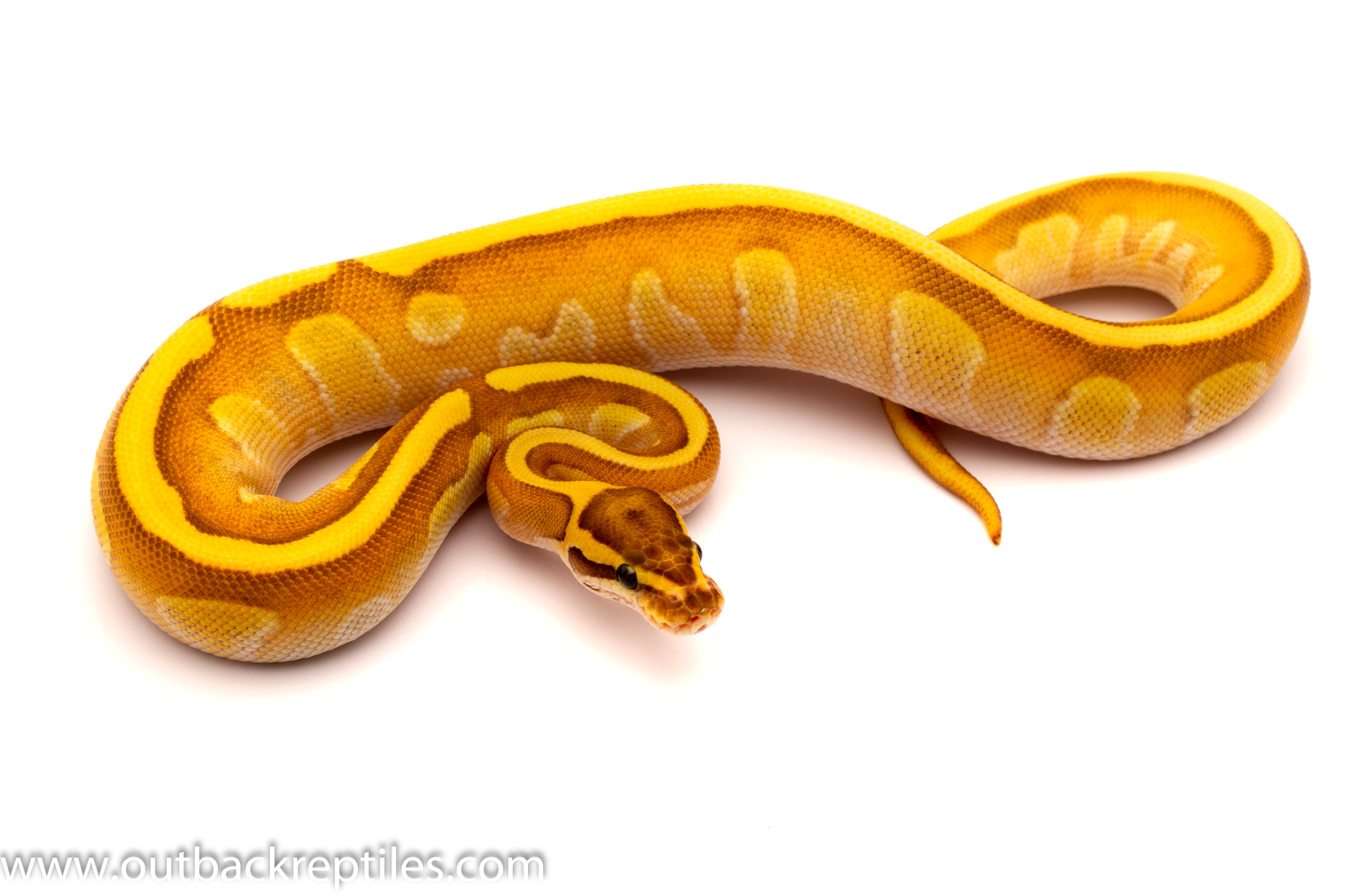 fire butter enchi ball python for sale