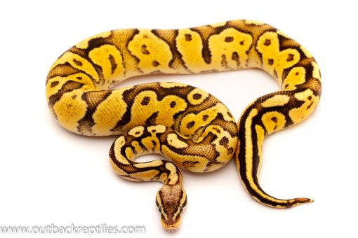 Firefly Het black axanthic ball python for sale