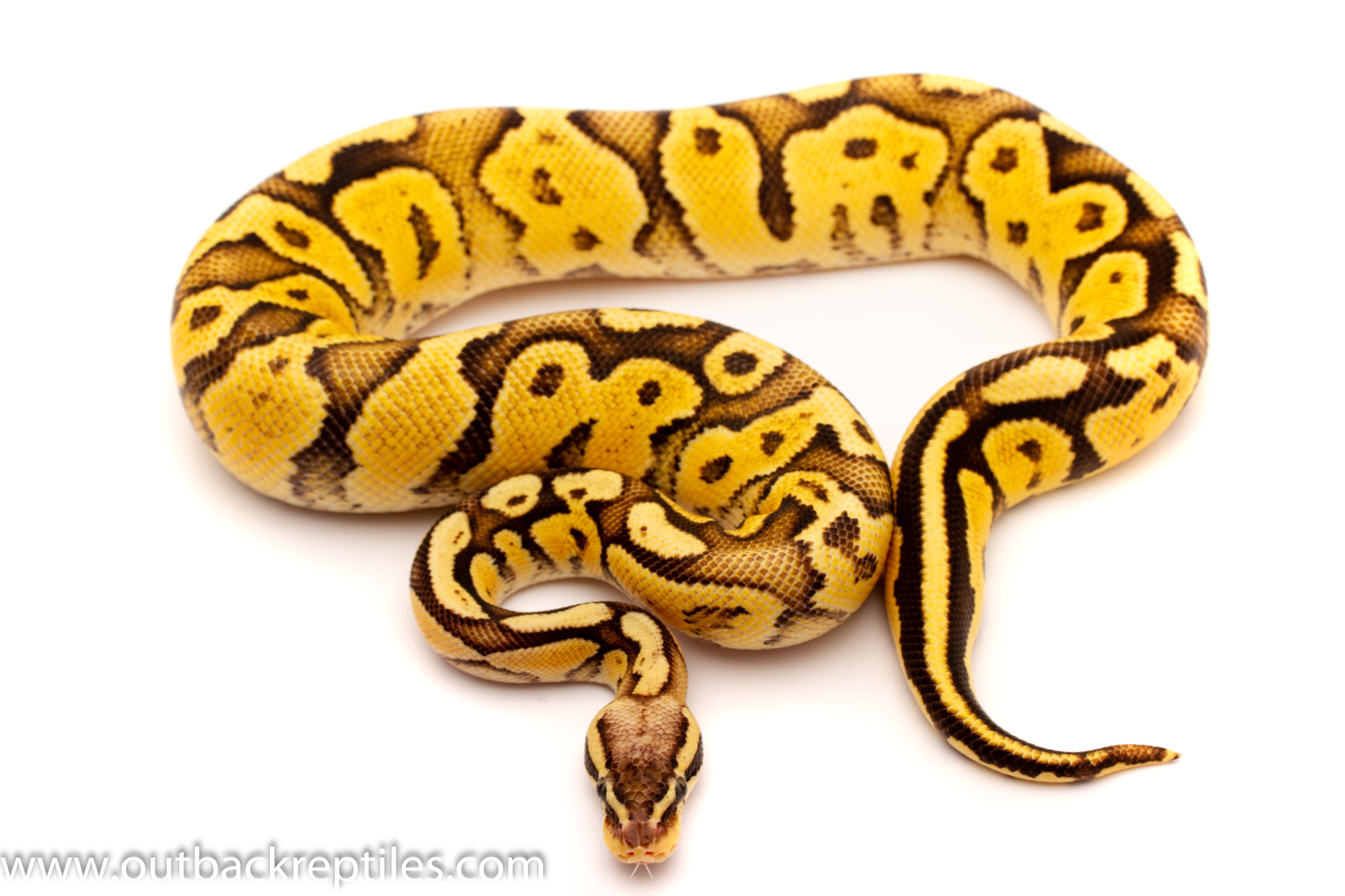 Firefly Het black axanthic ball python for sale