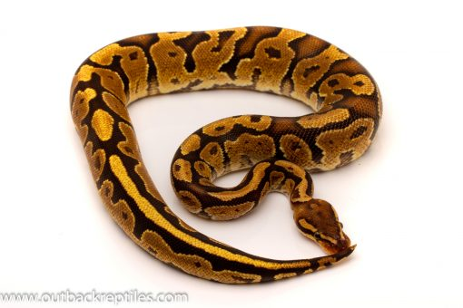 Fire het black axanthic ball python for sale
