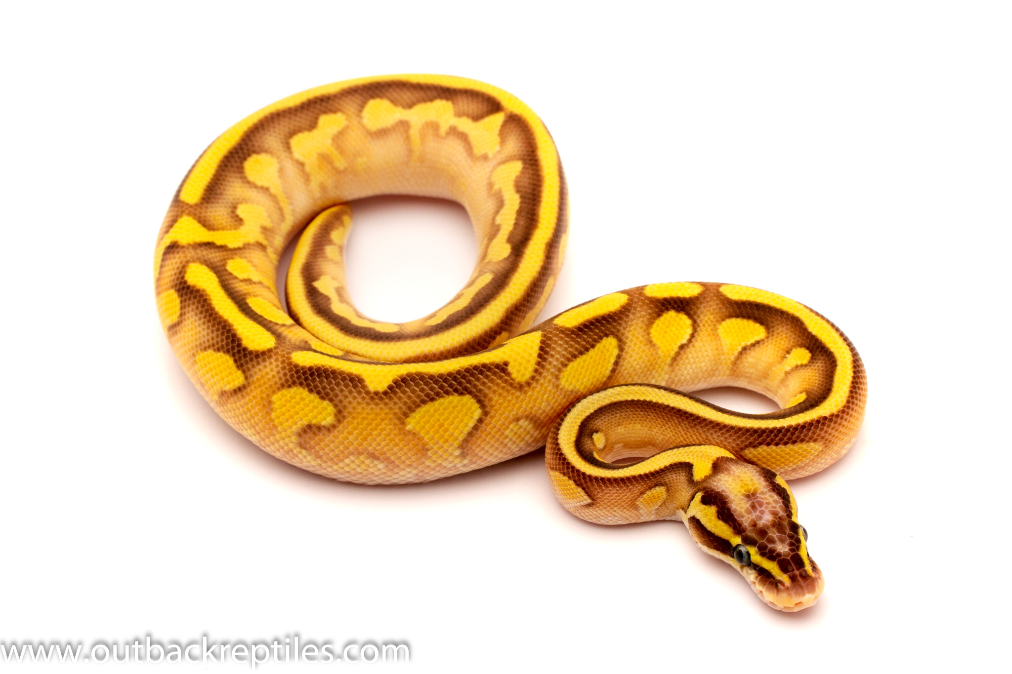 fire lesser yellow belly female