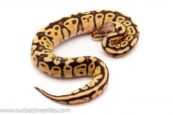 firefly ball python for sale