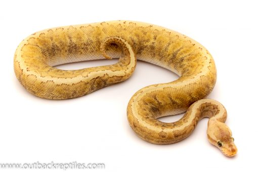 ghi lemonblast lesser ball python for sale