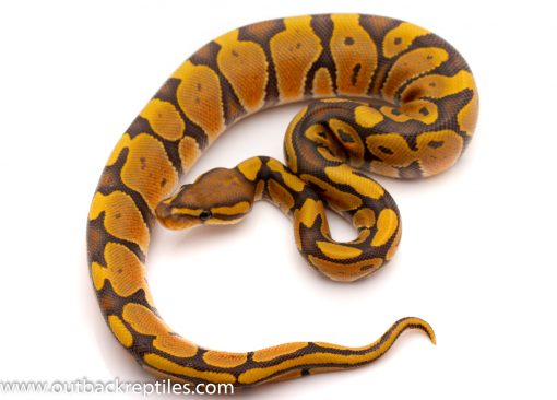 ghost ball python for sale