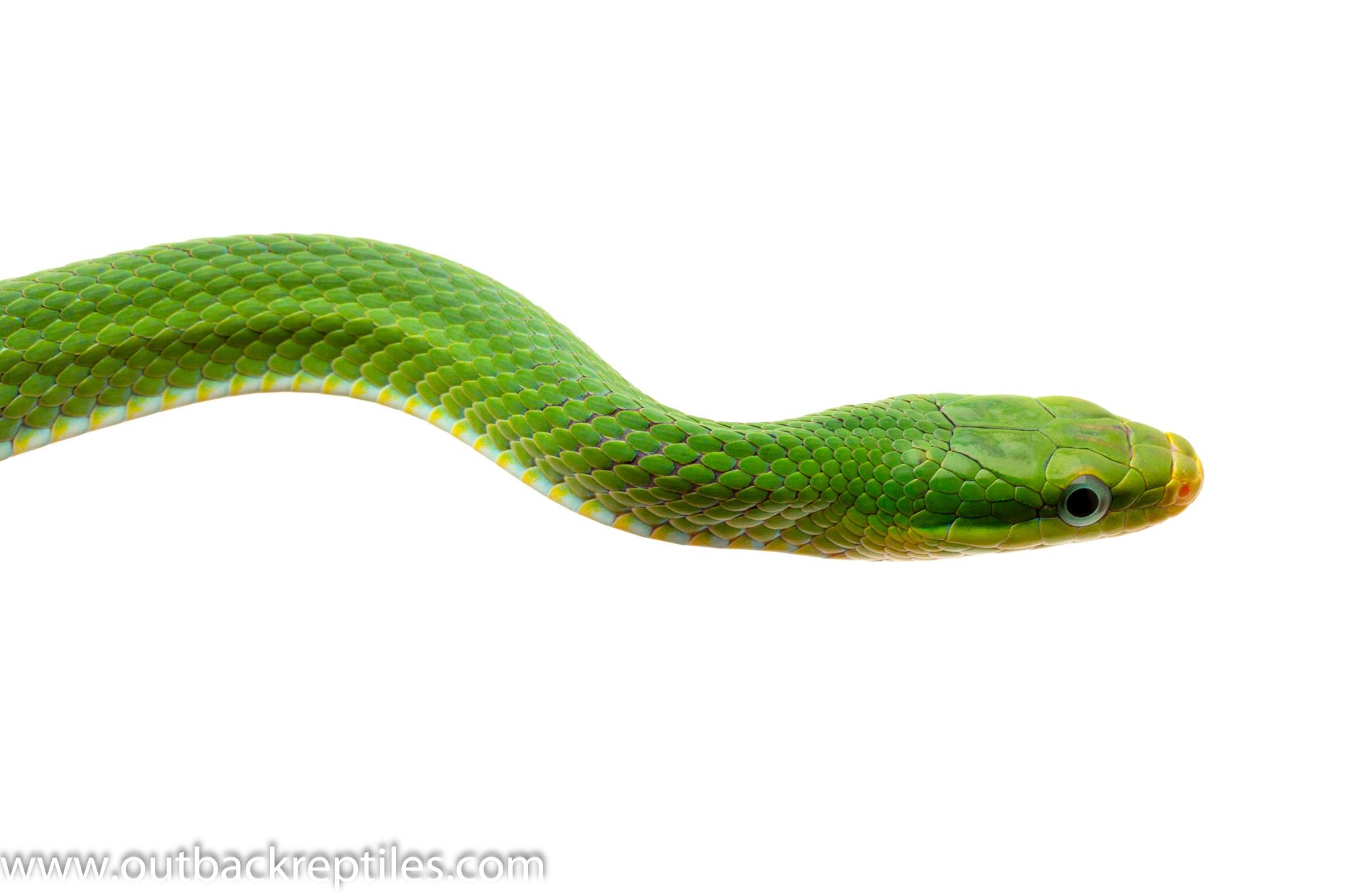 green bush rat snake for sale