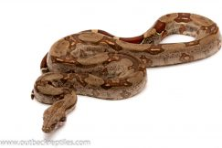 guyana boa for sale