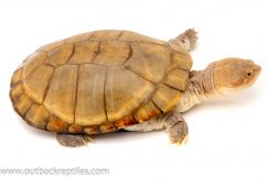 african side neck turtle for sale
