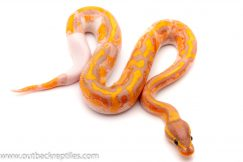banana pied ball python for sale