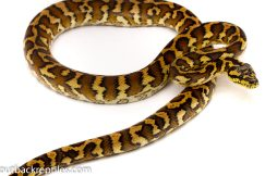Irian jaya carpet python for sale