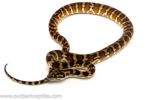 irian jaya carpet python for sale