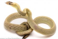 Jansens rat snake for sale