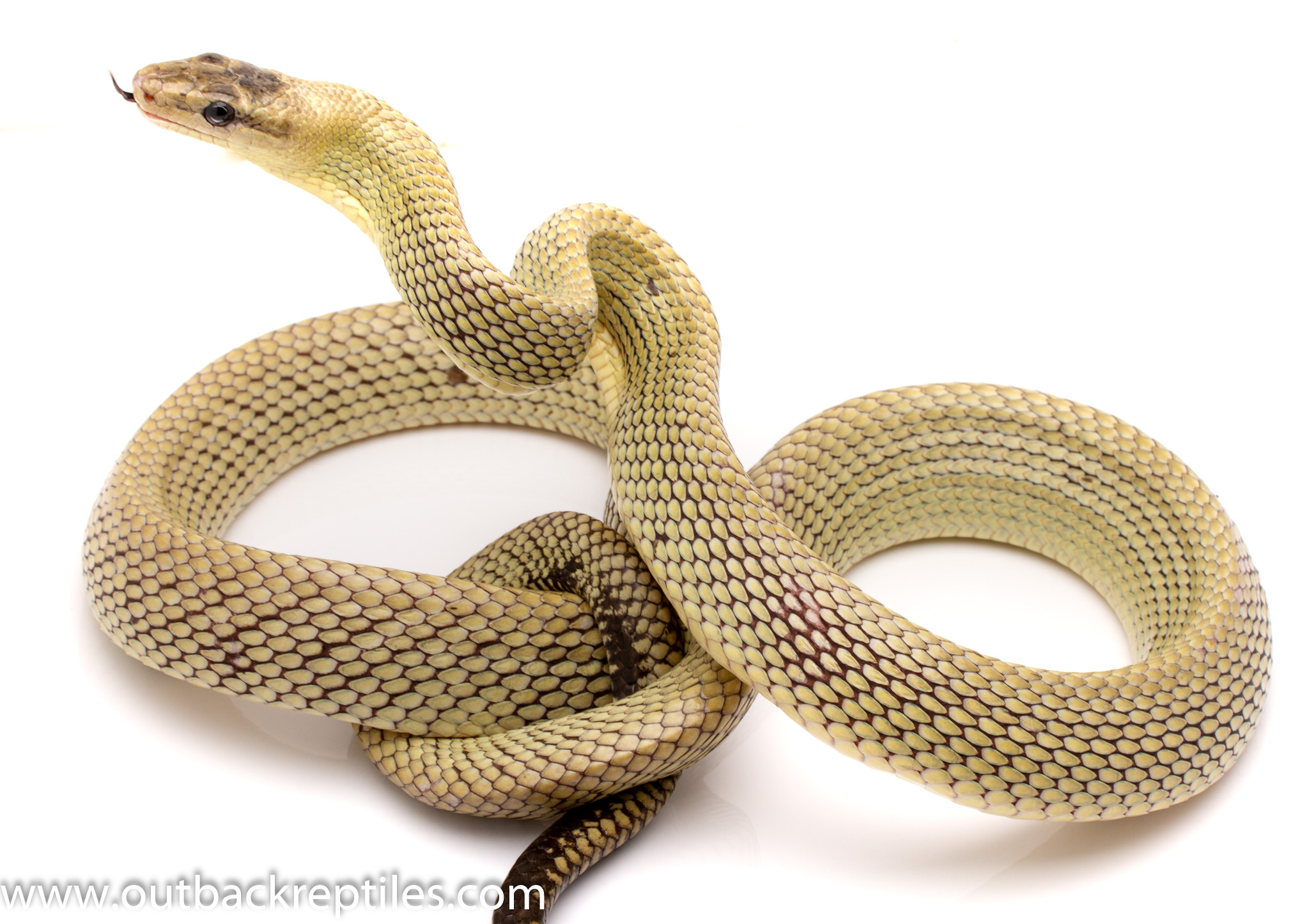 Jansens rat snake for sale