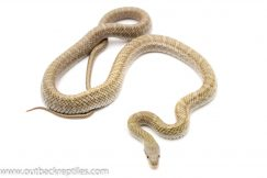 japanese rat snake for sale