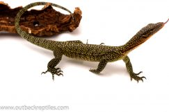 mangrove monitor for sale