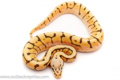 killer bee enchi ghost ball python for sale