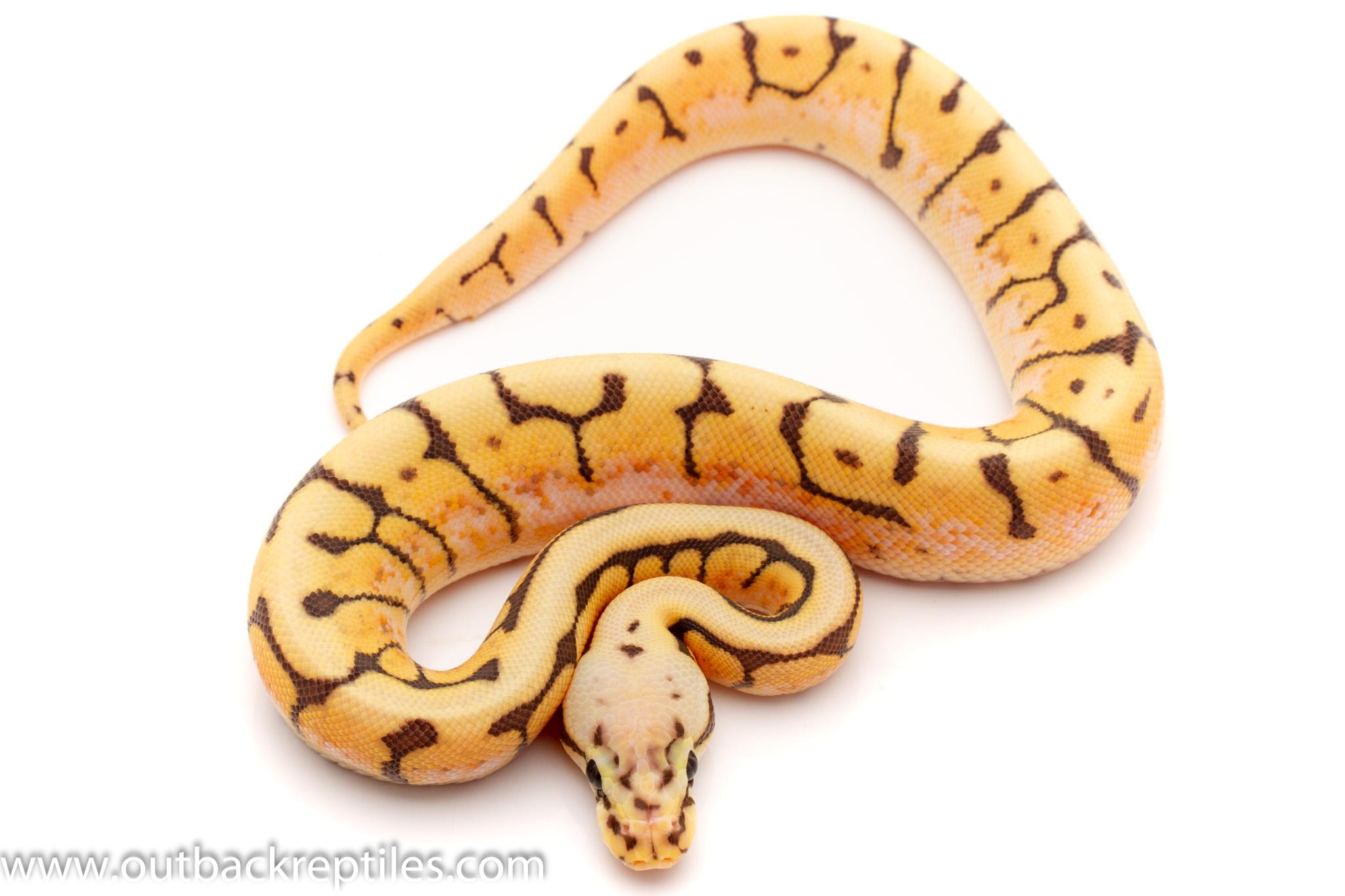killer bee enchi ghost ball python for sale