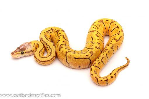lemonblast ball python for sale