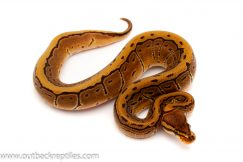 leopard pin stripe ball python for sale