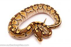 lesser female ball python for sale