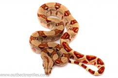hypo red tail boa for sale