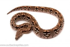 Dumerils boa for sale