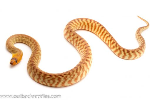 Woma Python for sale