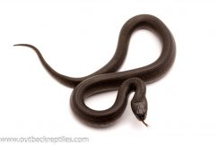 mexican black kingsnake