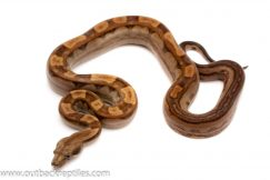motley het blood columbian redtail boa for sale