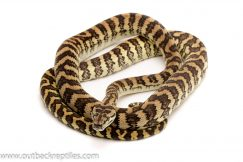 coastal carpet python for sale