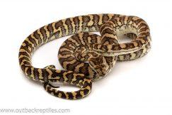 carpet python for sale