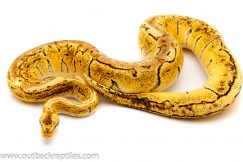 Lemonblast ball python python for sale
