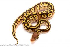 pastave ball python for sale