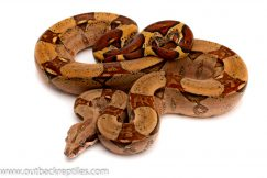 pastel red tail boa for sale