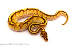 lesser firefly ball python for sale