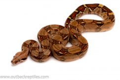 pastel het albino columbian redtail boa for sale
