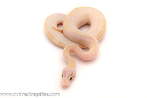 pastel ivory ball python for sale