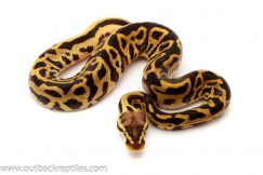 pastel leopard ball python for sale