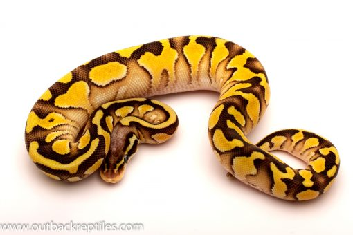 pastel lesser ball python for sale