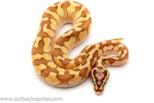 pastel lesser scaleless head ball python for sale