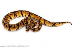 pastel scaleless head ball python for sale