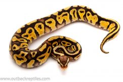 pastel yellow belly het clown ball python for sale
