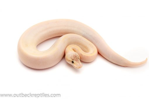 Pewter Champagne ball python for sale