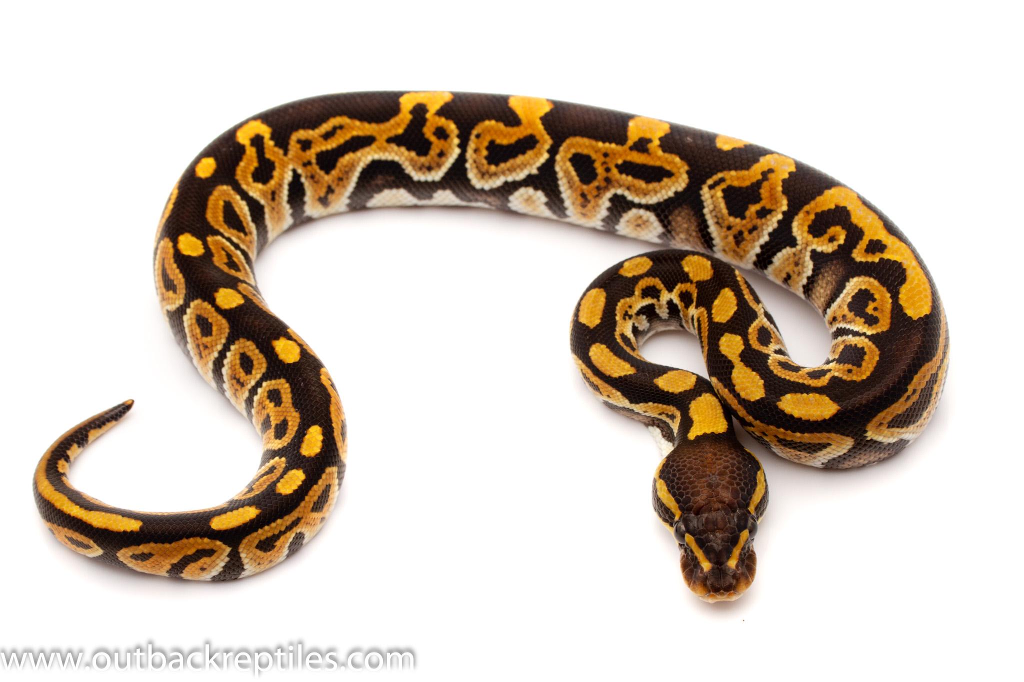 phantom ball python for sale