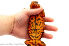 saharan uromastyx for sale