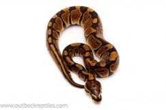 scaleless head het albino ball python for sale