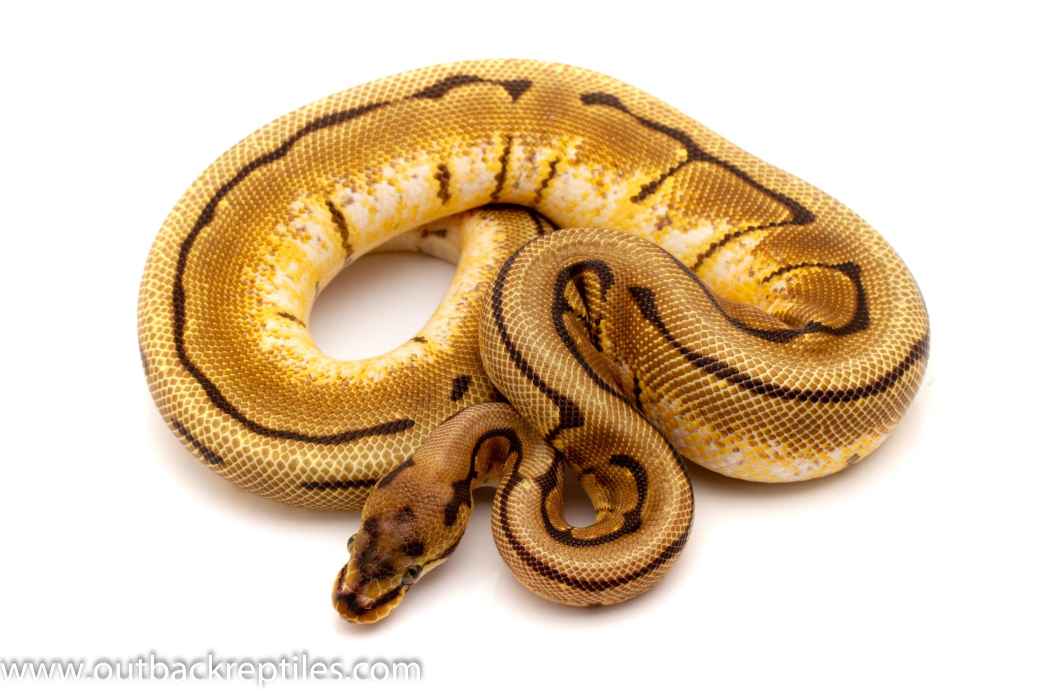 spinner ball python for sale