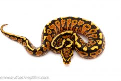 spotnose yellow belly ball python for sale