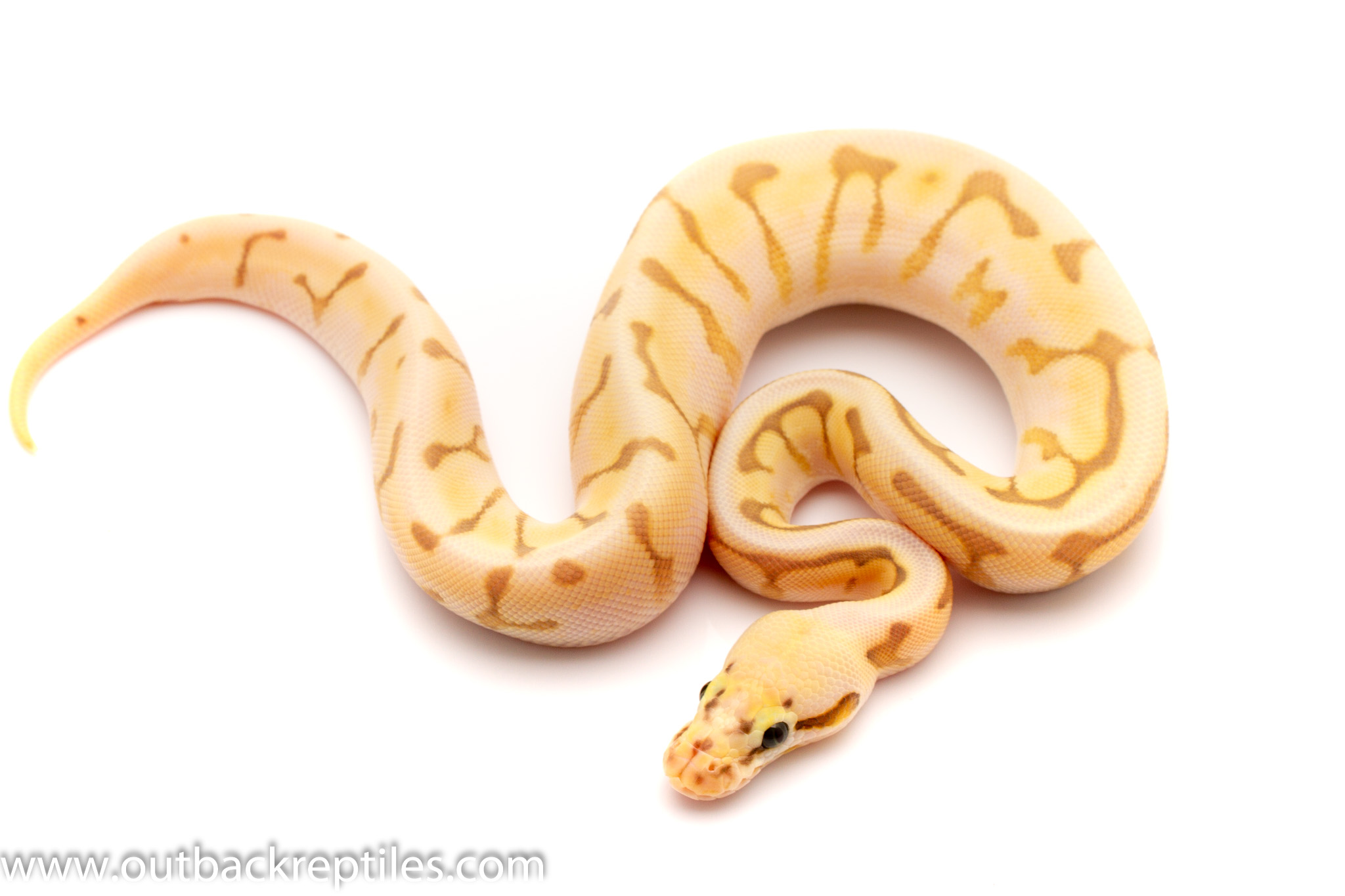 stinger bee butter ghost ball python for sale