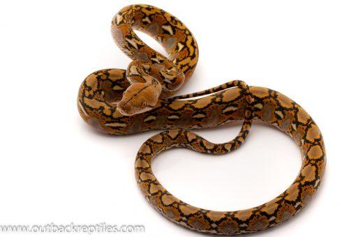 Super Dwarf Reticulated Python for sale