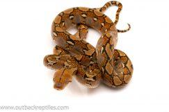 Super dwarf reticulated python